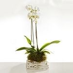 Orchid in White Rustic Basket